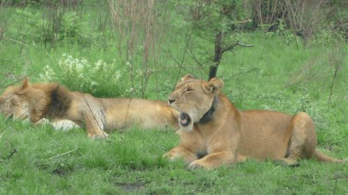 Queen-Elizabeth-National-Park-lions-1024x600